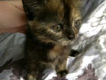 Отдам котят от домашней кошки в добрые и заботливы