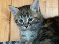Котята метисы курильского бобтейла в добрые руки